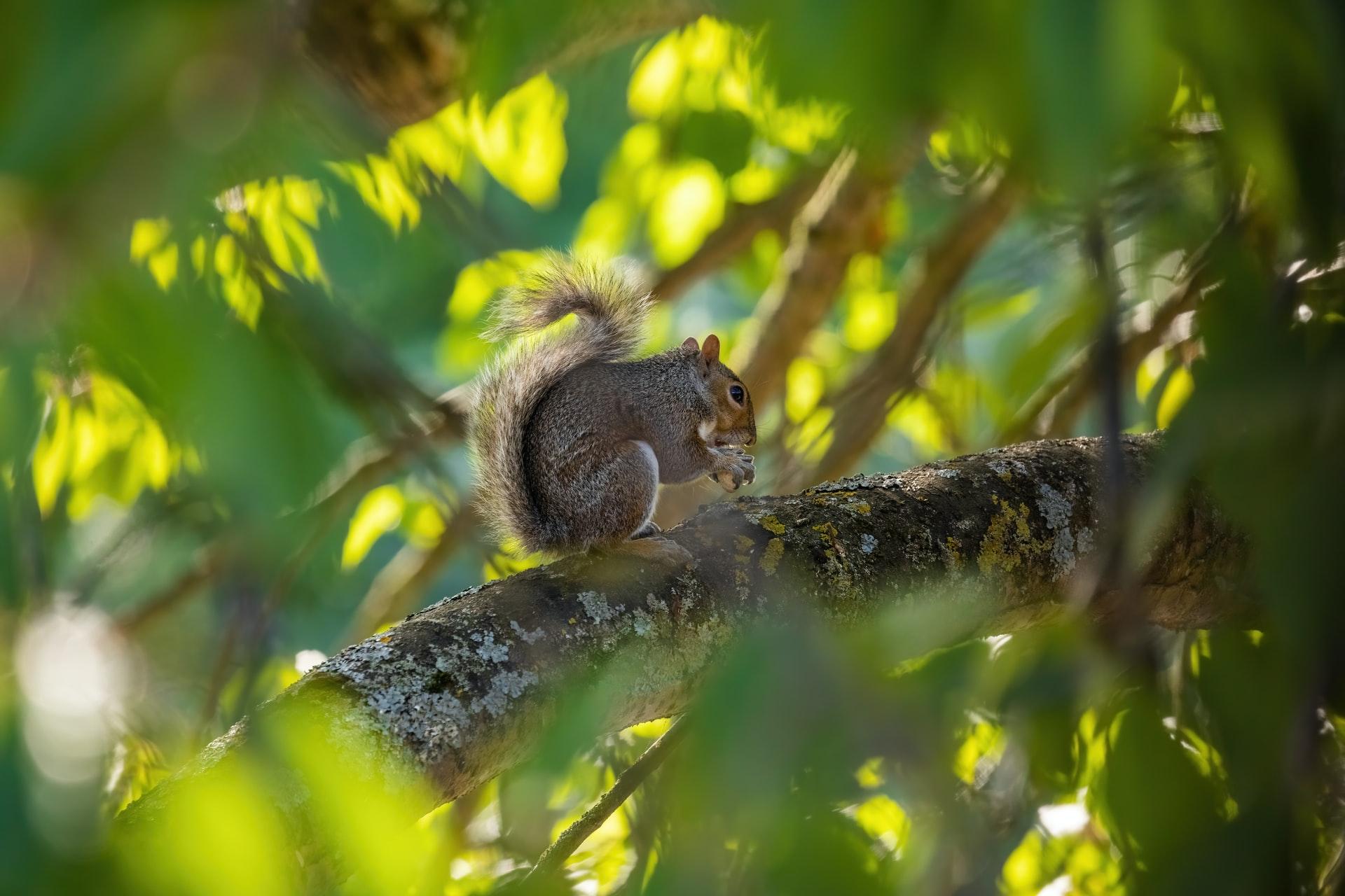 Autumn walks grey squirrels