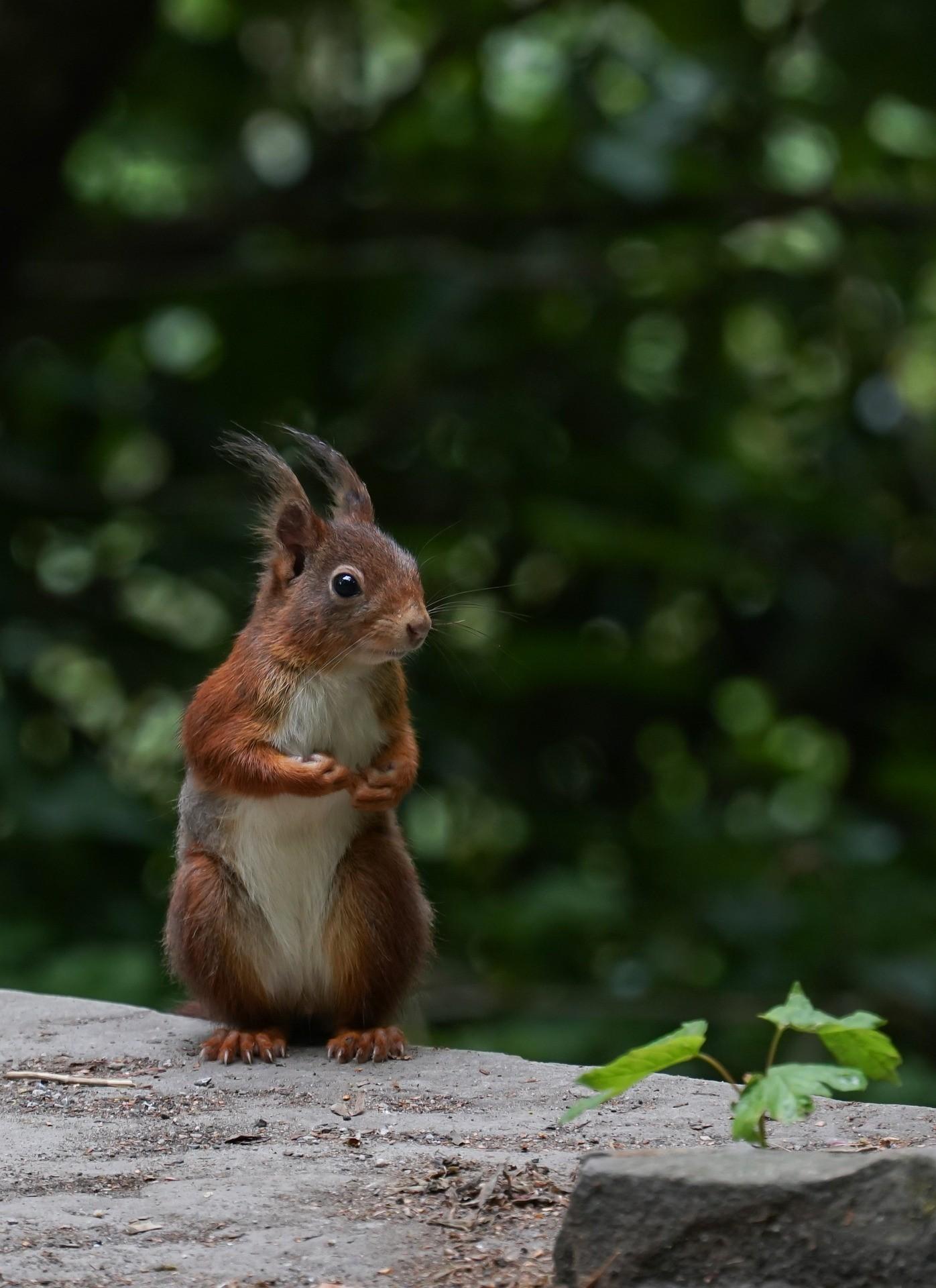 Autumn walks red squirrel